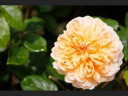 31  Rose - Copy.JPG