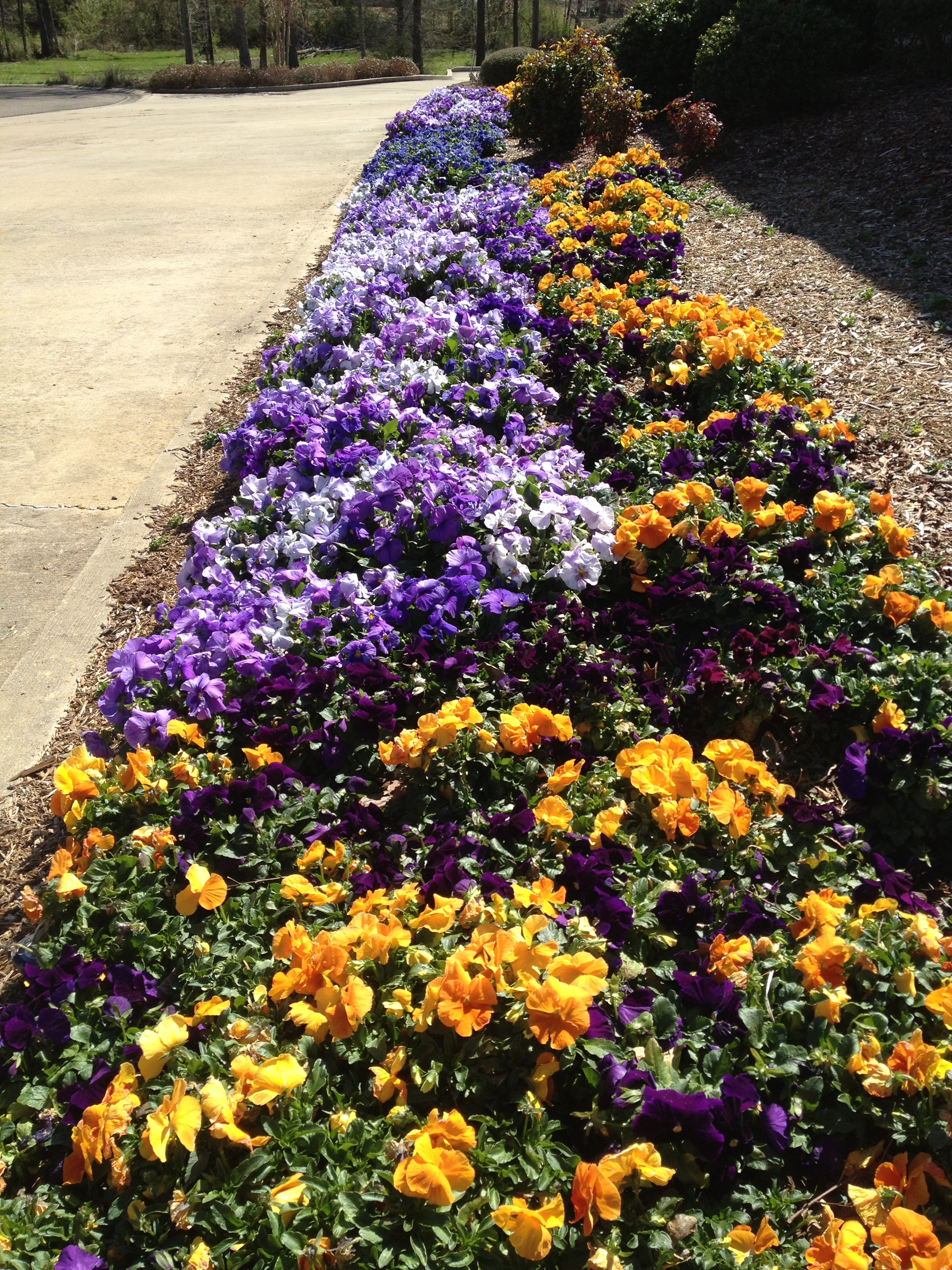 Pansies with Flower & Garden Mulch