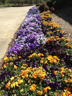 Pansies with Flower & Garden Mulch
