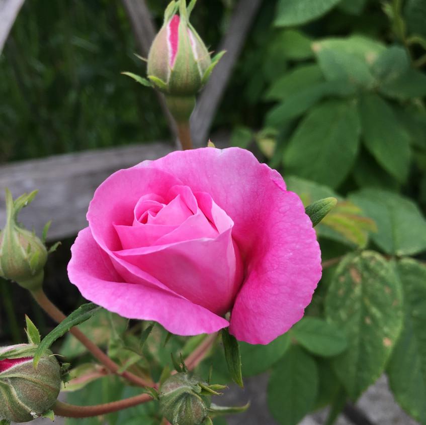Beautiful roses at Culross Palace gardens, Scotland.