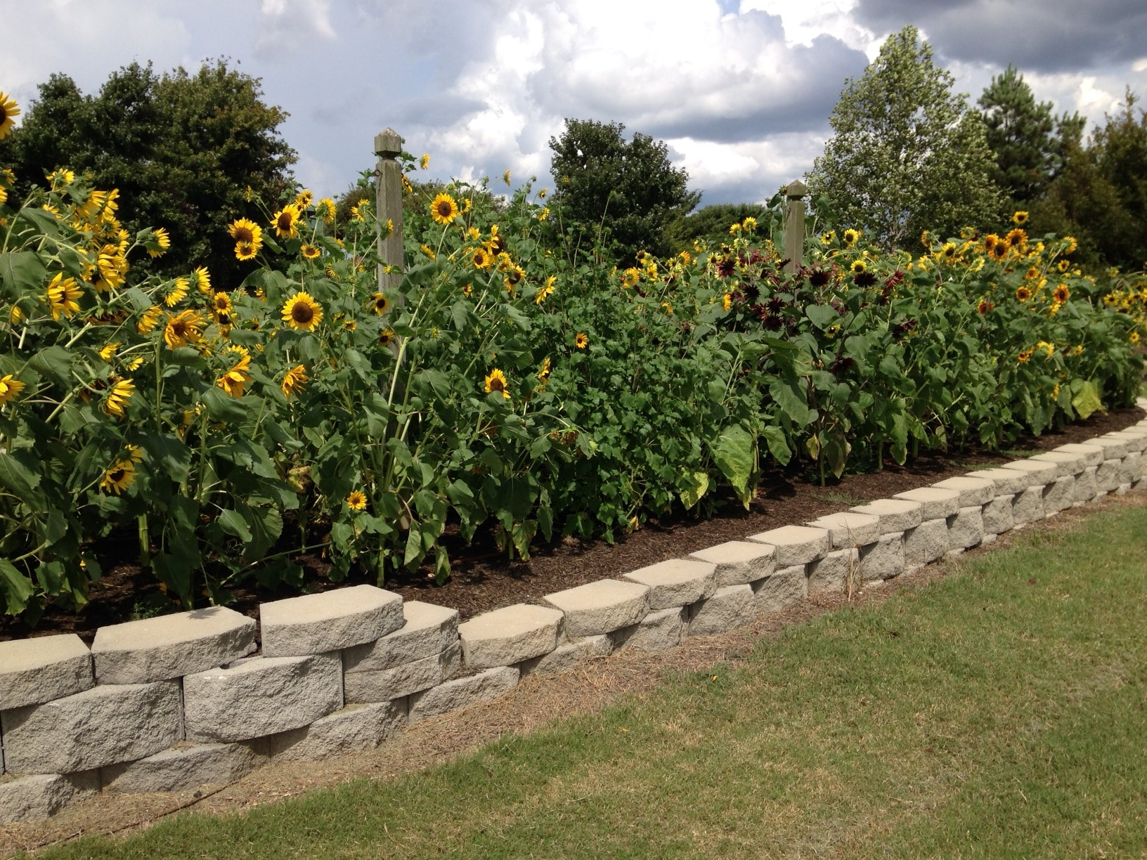 Sunflowers with Loamus Soil Builder
