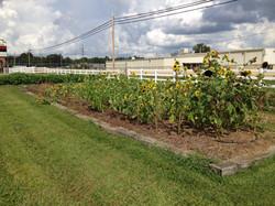 Sunflowers with no Loamus