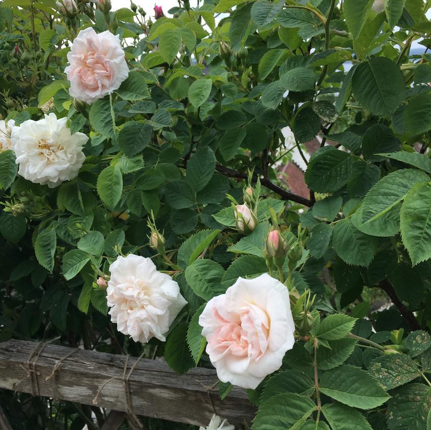 David Austin roses in the Culross Palace gardens, Scotland.