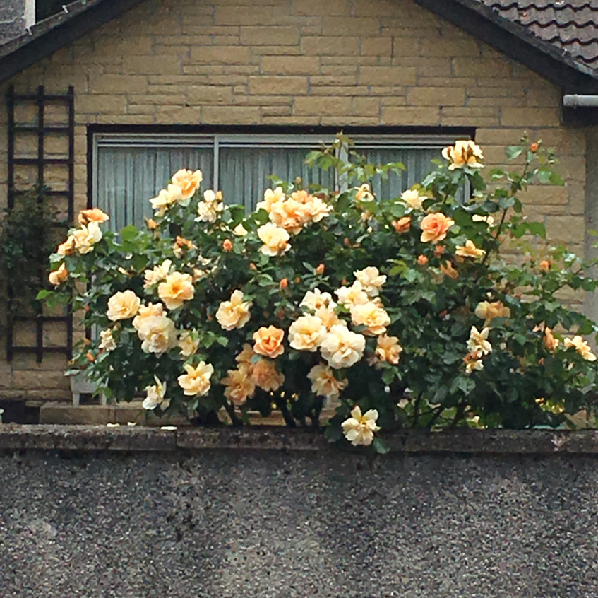 The roses are beautiful in small Scottish gardens everywhere.