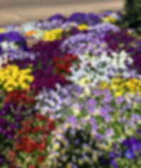 Flower & Garden Pansies 2019.jpg