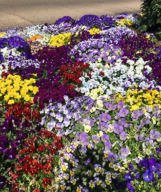 Flower & Garden Pansies 2019.jpg
