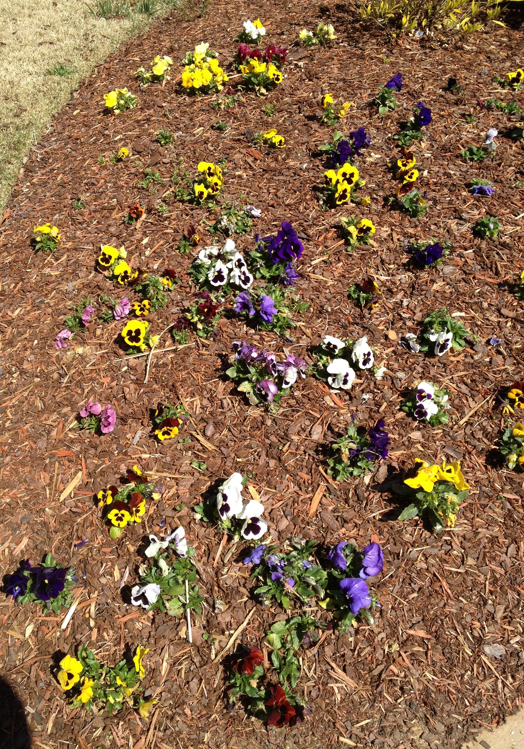 Pansies without Flower & Garden Mulch