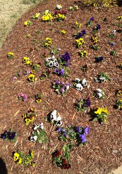 Pansies without Flower & Garden Mulch