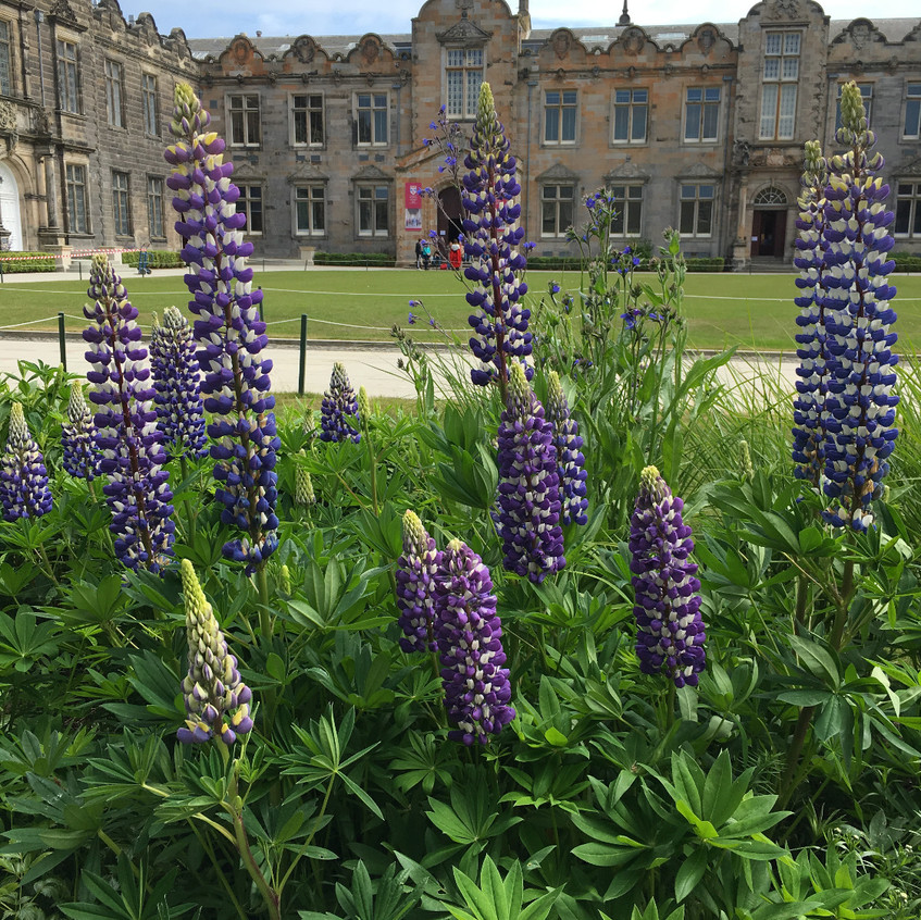 Lupines are so beautiful in front of this school in St. Andrews, Scotland.