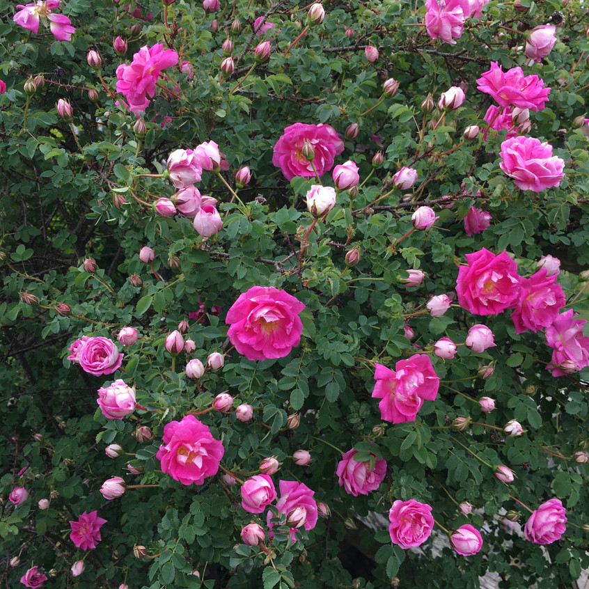 Pink roses in the gardens at Culross Palace, Scotland.