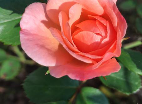 Really Rockin' Roses
