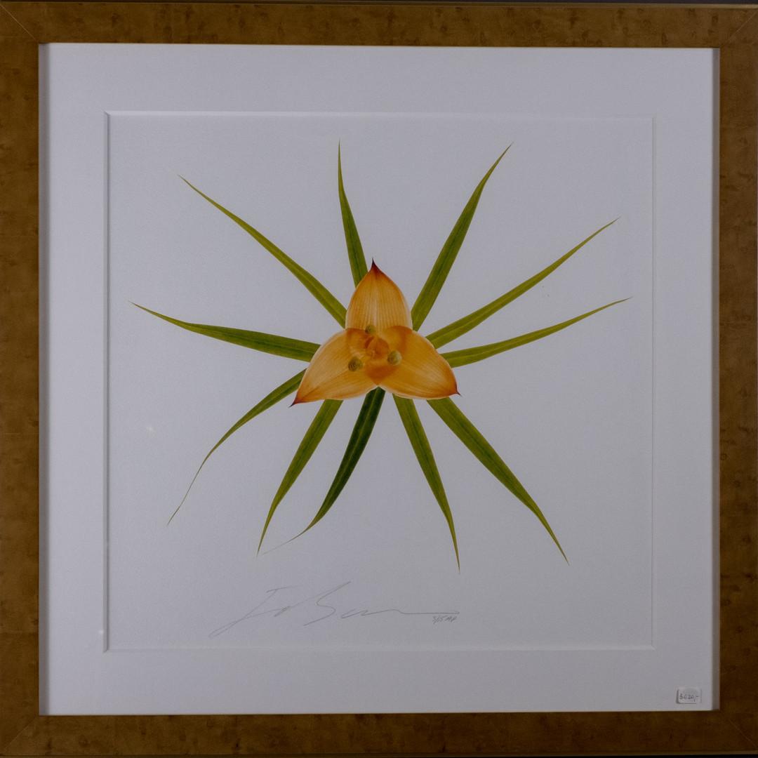 Monocot Lillaceae  26.75w x 26.75h