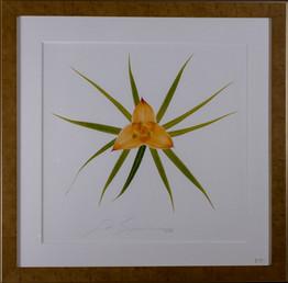 Monocot Lillaceae