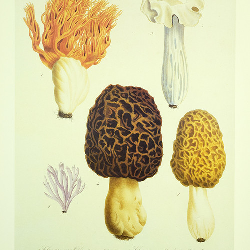 ROGUES - ANTIQUE FRENCH MUSHROOMS 14X20