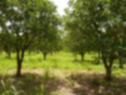 200 acres of Valencia Oranges
