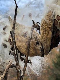 milkweed-maker-of-monarchs-jpg
