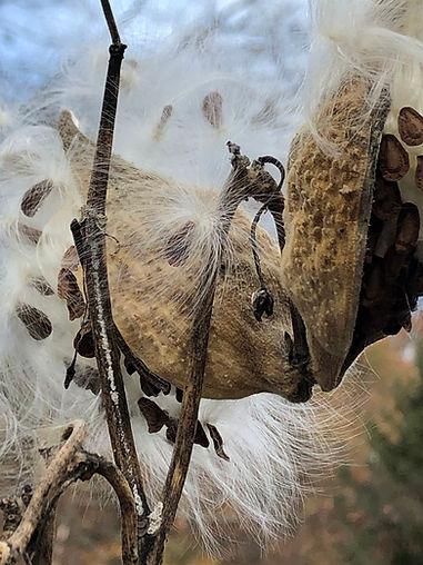 milkweed-maker-of-monarchs-jpg.jpg