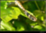 couleuvre serpent