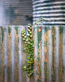 Corrugated iron, ivy and time