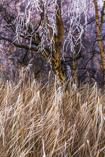 hoar frost above the phragmites