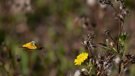 clouded yellow departing