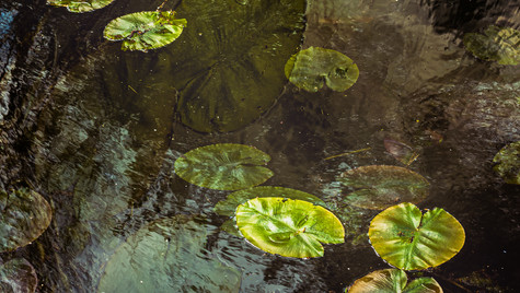 on the emergence of water lilies