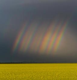 rainbows over mustard