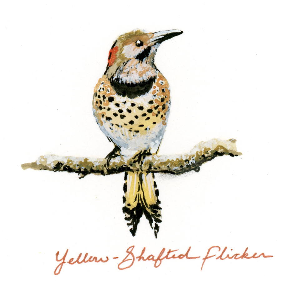 Bird Study - Yellow-Shafted Flicker