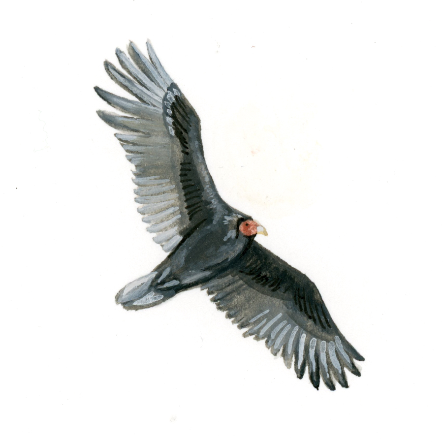 Bird Study - Turkey Vulture