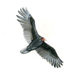 Bird Study - Turkey Vulture