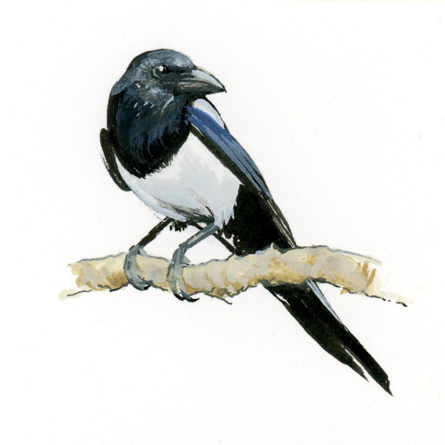 Bird Study - Black-billed Magpie