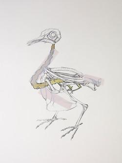 Skeletal Study of a Pigeon