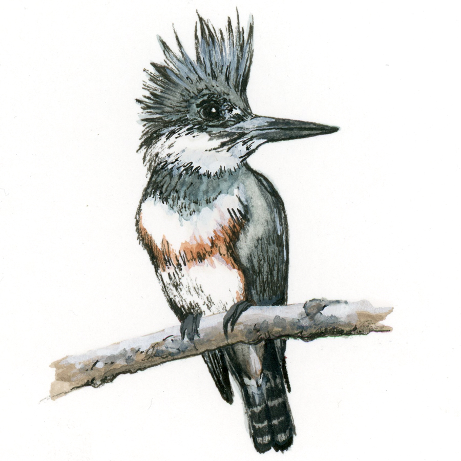 Bird Study - Belted Kingfisher