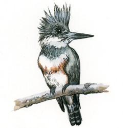 Bird Study - Belted Kingfisher