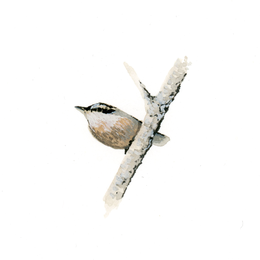 Bird Study - Red-Breasted Nuthatch