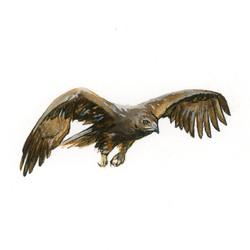 Bird Study - Golden Eagle
