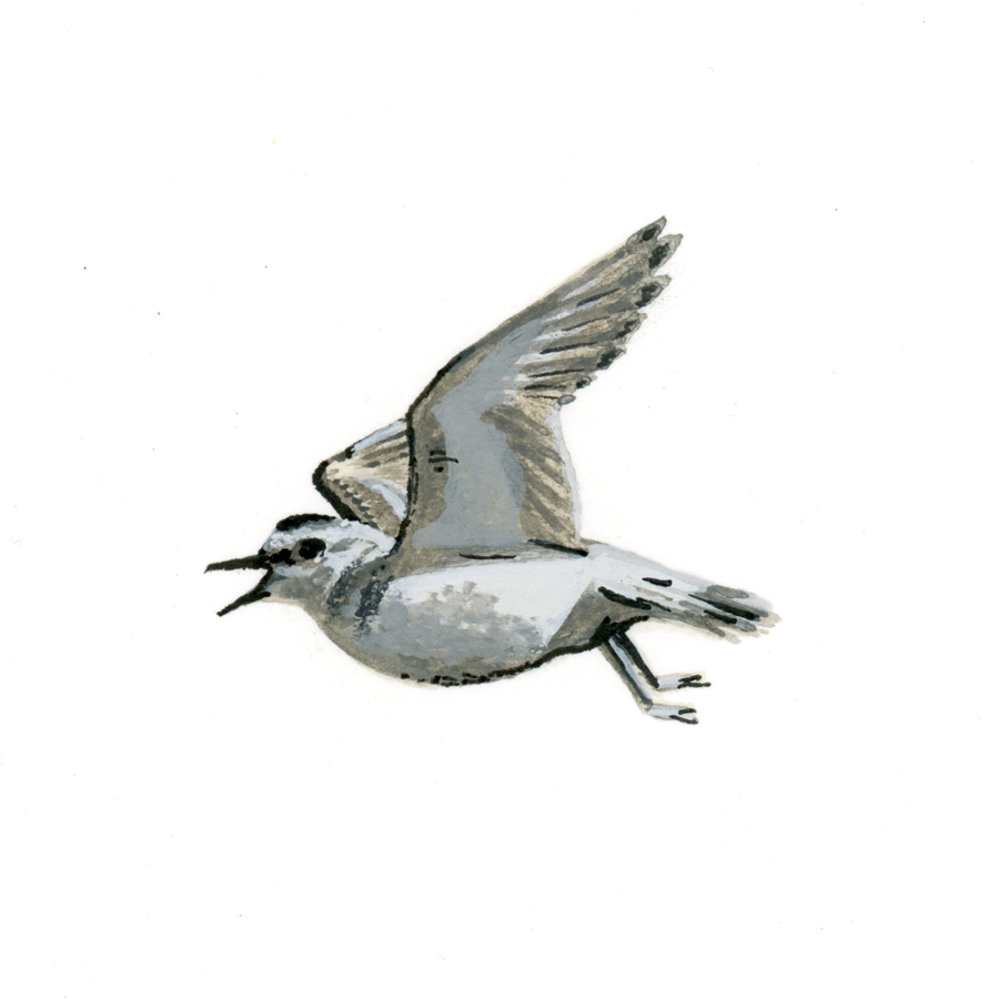 Bird Study - Mountain Plover