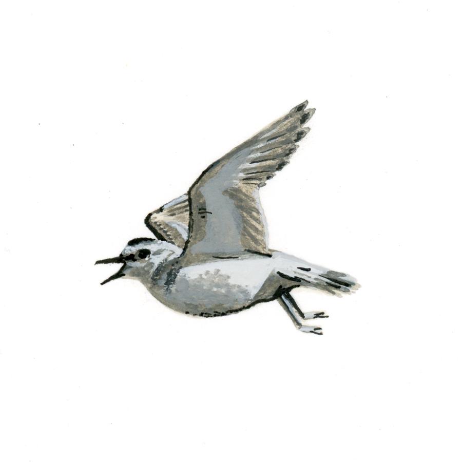 Bird Study - Mountain Plover