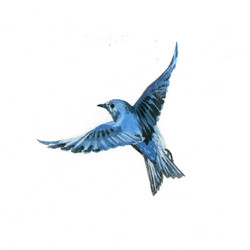 Bird Study - Mountain Bluebird