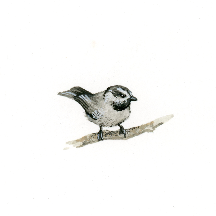Bird Study - Mountain Chickadee