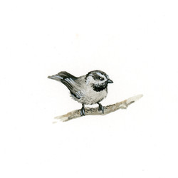 Bird Study - Mountain Chickadee