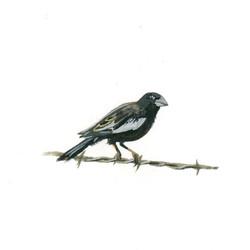 Bird Study - Lark Bunting