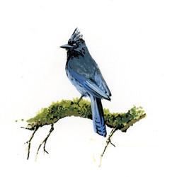 Bird Study - Steller's Jay