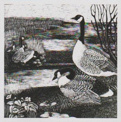 Canada Geese in Bryn Bach Park