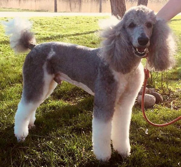 Poodle Stud Service | Strong Pedigrees | Family's Standard