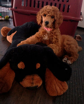 Poodle for sale Ontario