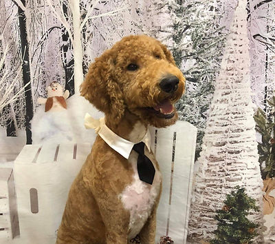 Red Standard Poodle for sale