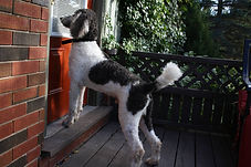 Male standard poodle