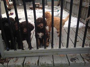 Poodles for Sale
