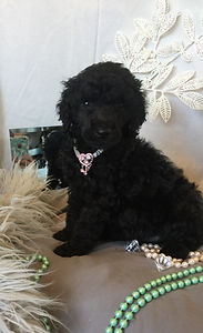Red standard poodle ontario